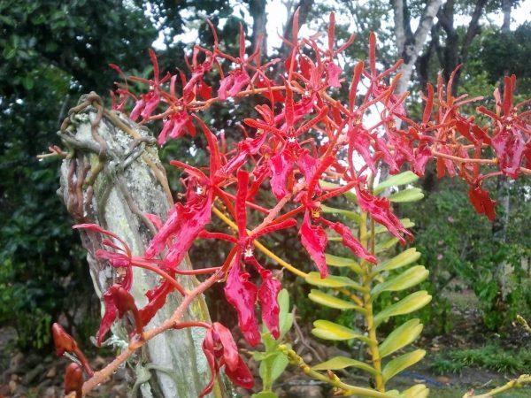 cultivo-de-la-orquidea-vanda-03