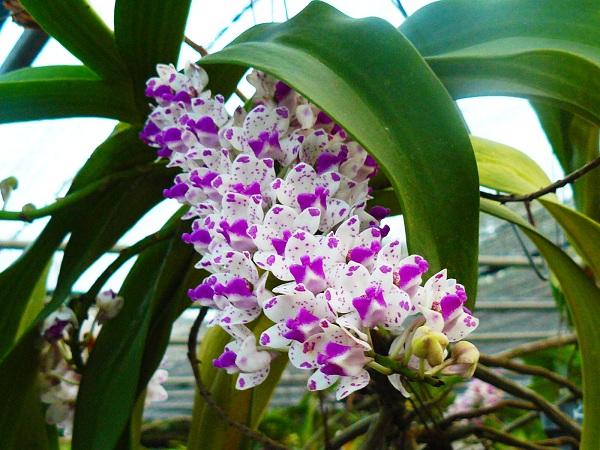 cultivo-de-la-orquidea-vanda-04