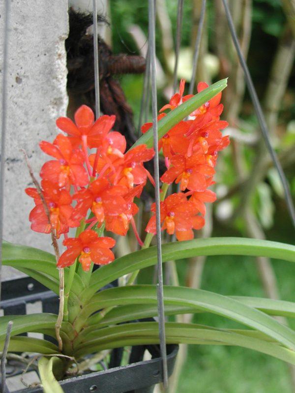 cultivo-de-la-orquidea-vanda-05