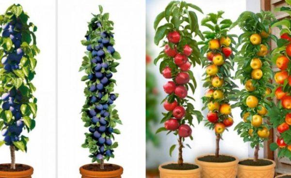 cultivar árboles frutales en columna