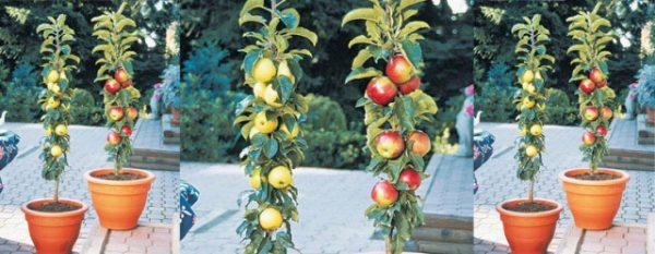 cultvar-arboles-frutales-en-columna-03