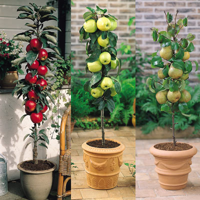 cultvar-arboles-frutales-en-columna-04