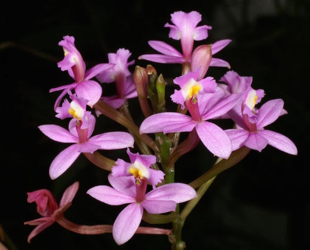 epidendrum-orquidea-1
