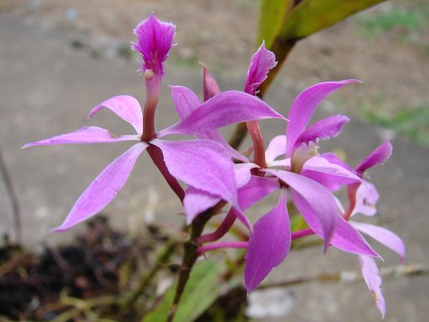 epidendrum-orquidea-3