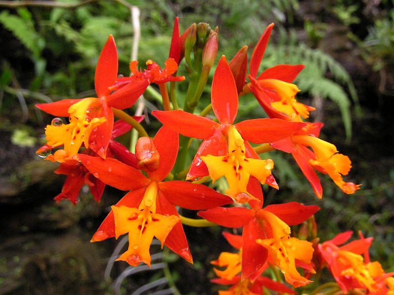 epidendrum-una-orquidea-robusta-y-elegante-03