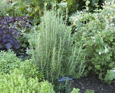 las-mejores-plantas-para-un-jardin-de-hierbas-aromaticas-04