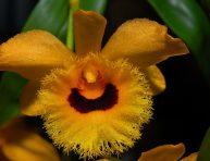 imagen Orquídea Dendrobium fimbriatum var. oculatum