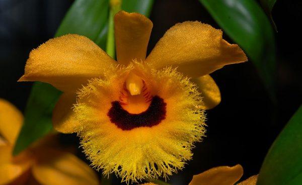 orquidea-dendrobium-fimbriatum-var. oculatum-03