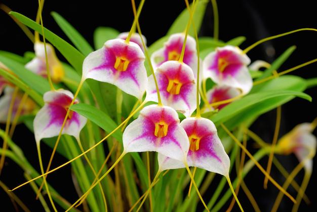 orquidea-masdevallia