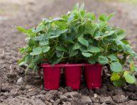 imagen Tips para cultivar fresas