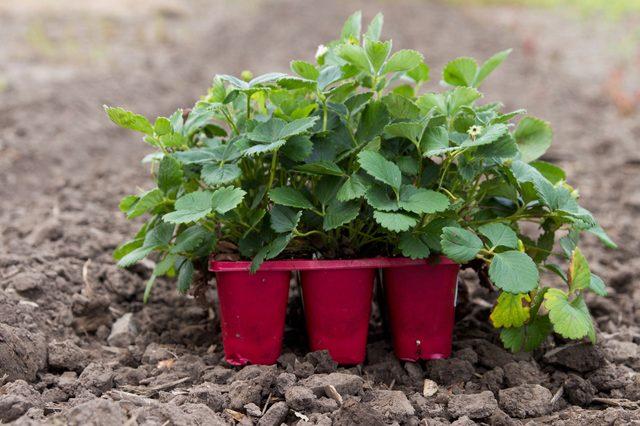 tips-para-cultivar-fresas-01