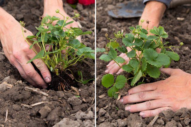 tips-para-cultivar-fresas-05