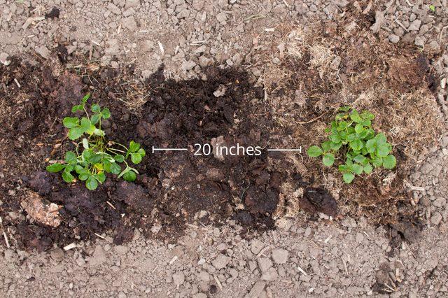 tips-para-cultivar-fresas-06