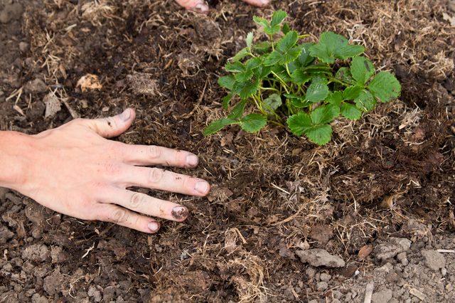 tips-para-cultivar-fresas-11