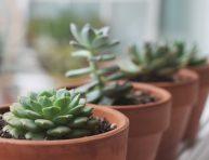 imagen Claves para cultivar suculentas saludables