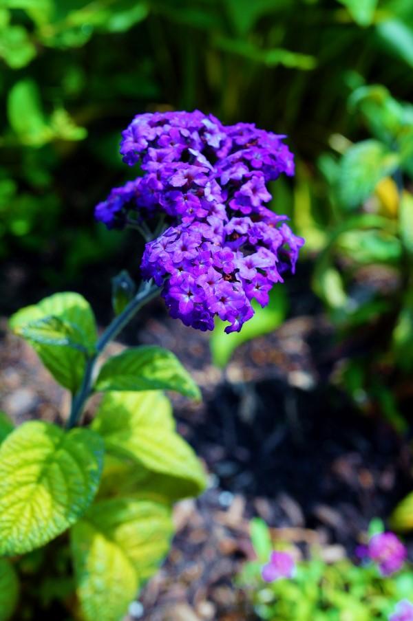 Fragrant blue heliotrope flower