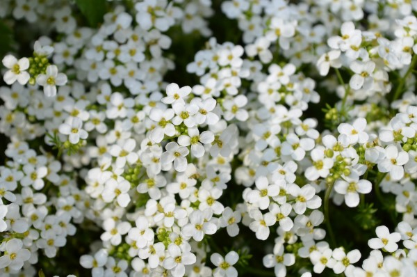 Sweet Alyssum (Lobularia maritima). Bed with white flowers