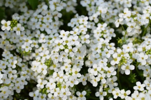 Sweet Alyssum (Lobularia maritima). Bed with white flowers