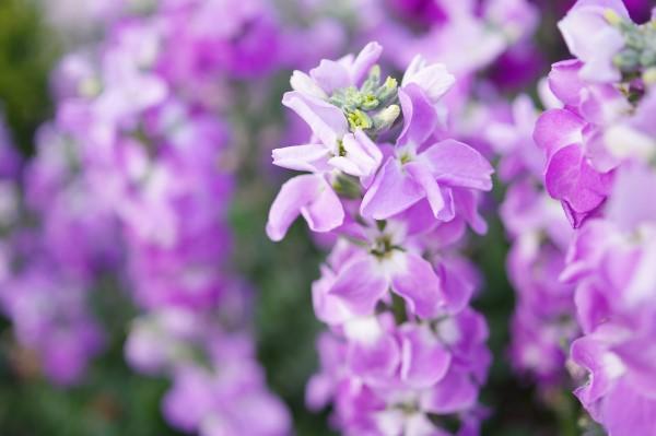 10-flores-fragantes-para-un-jardin-celestial-03