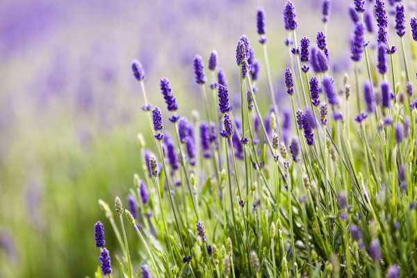 Beautiful blooming lavender closeup on Olympic Pennisula in Washington