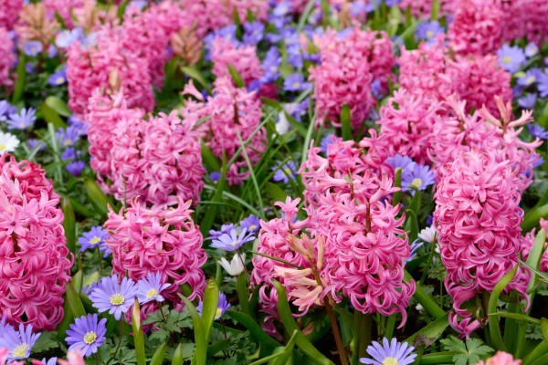 hyacinth and anemone in the nature