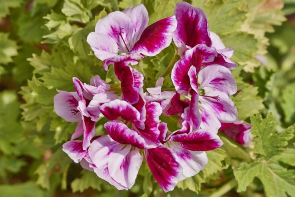 pelargonium flowers closeup