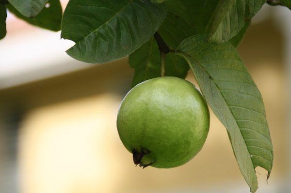 cualidades-beneficiosas-de-las-hojas-de-guayaba-02