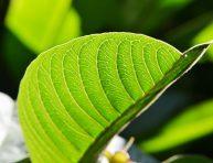 imagen Cualidades beneficiosas de las hojas de guayabo