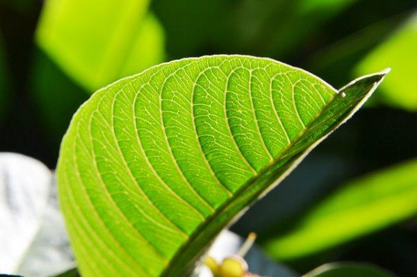 cualidades-beneficiosas-de-las-hojas-de-guayaba-03
