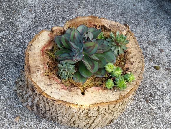 cultivar-suculentas-en-rodajas-de-madera-01