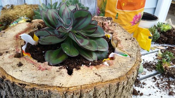cultivar-suculentas-en-rodajas-de-madera-08