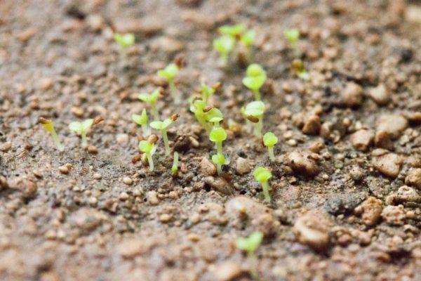 cultivo-de-suculentas-a-partir-de-semillas-06