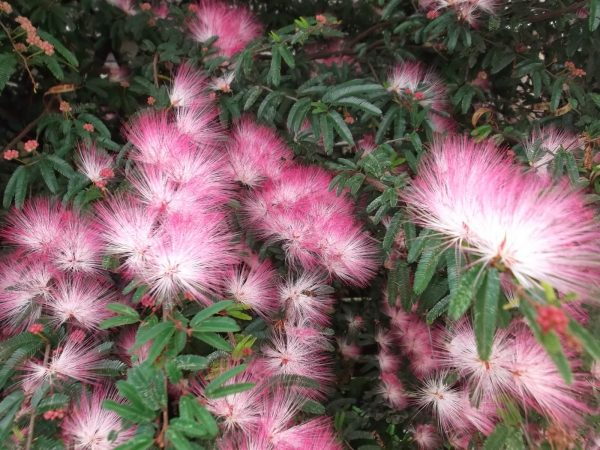 cultivo-del-plumerillo-rosado-01