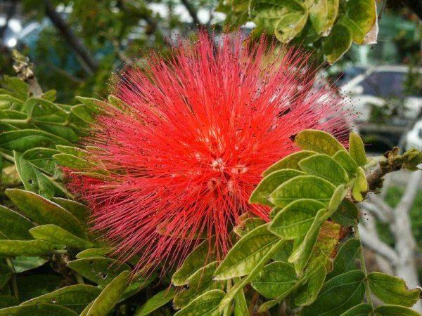 cultivo-del-plumerillo-rosado-02