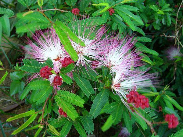 cultivo-del-plumerillo-rosado-03