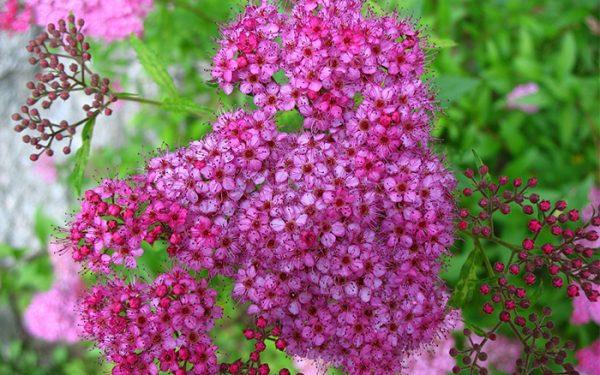 Los mejores arbustos de crecimiento r pido - Arbustos perennes con flor ...