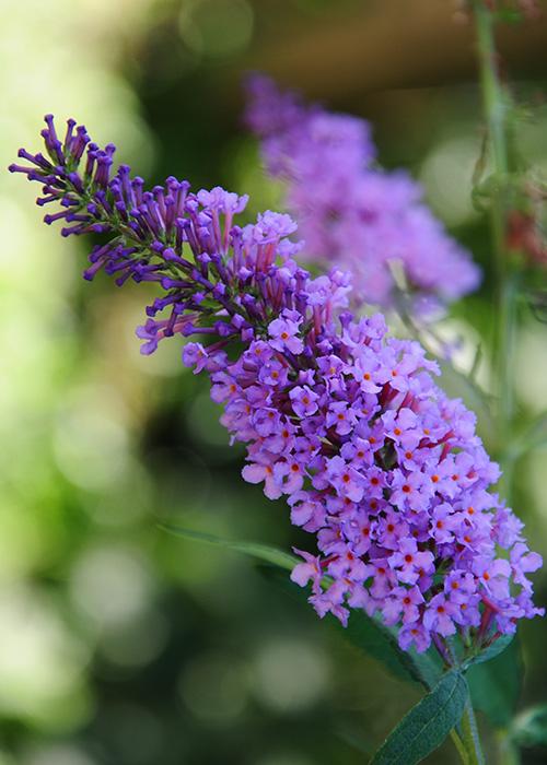 los-mejores-arbustos-de-crecimiento-rapido-06