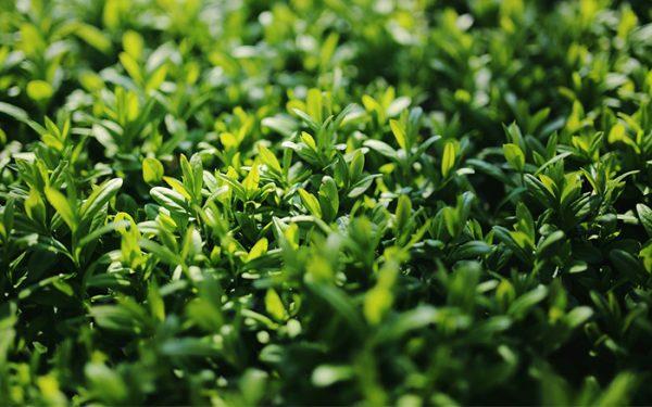 Los mejores arbustos de crecimiento r pido - Nombres de arbustos ...