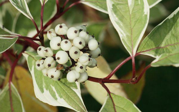 los-mejores-arbustos-de-crecimiento-rapido-10