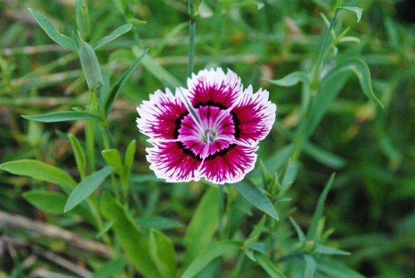 caracteristicas-y-cultivo-de-la-clavelina-02