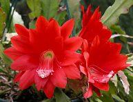 imagen Características y cultivo del cactus orquídea