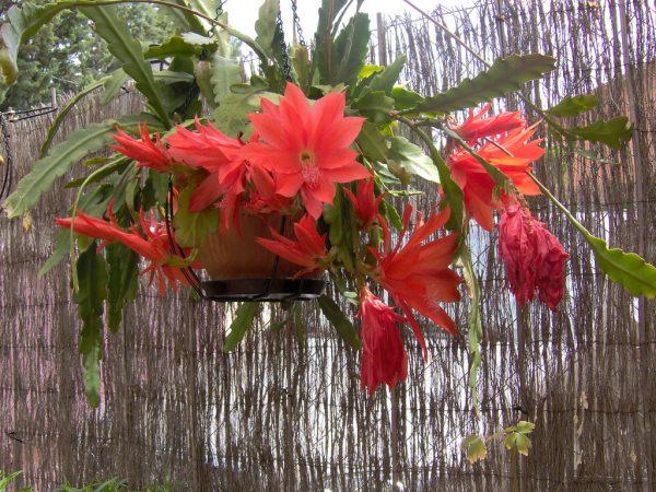 caracteristicas-y-cultivo-del-cactus-orquidea-02