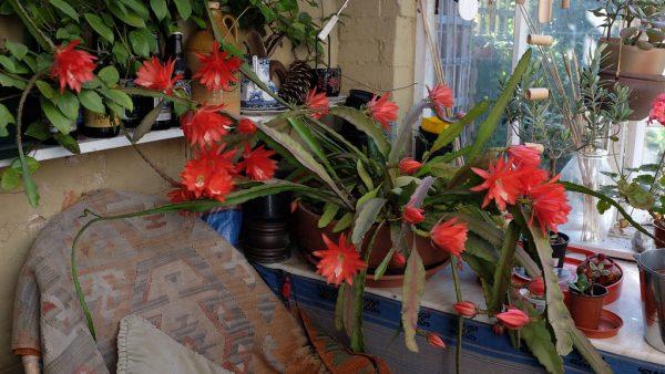 caracteristicas-y-cultivo-del-cactus-orquidea-03