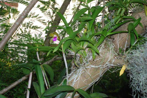 como-cultivar-orquideas-sobre-los-arboles-02