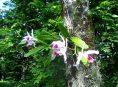 imagen Como cultivar orquídeas sobre los árboles