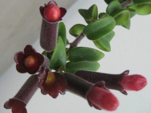 conoce-la-aeschynanthus-radicans-02