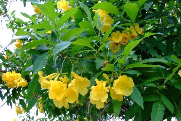 conoce-la-bignonia-amarilla-01