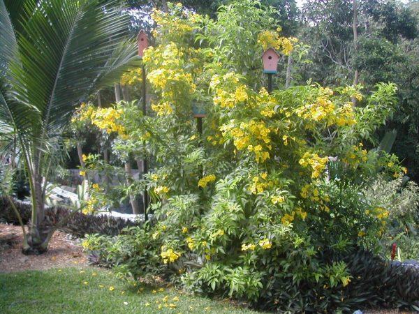 conoce-la-bignonia-amarilla-02