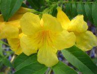 imagen Conoce la bignonia amarilla