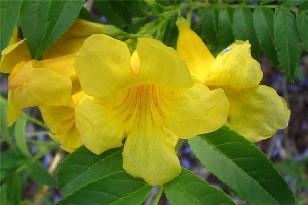 conoce-la-bignonia-amarilla-03